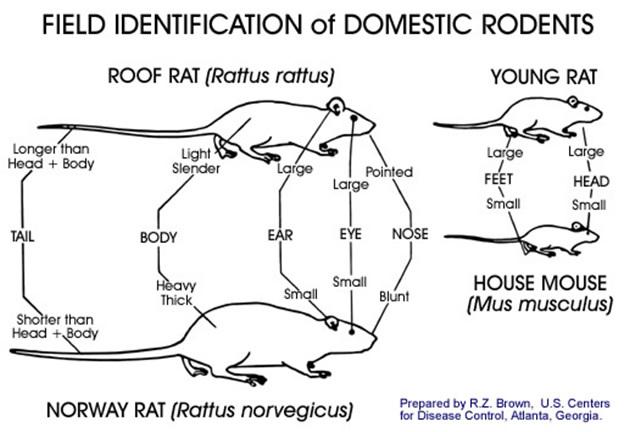 Mice Exterminator Tauranga Rats Mice Tauranga